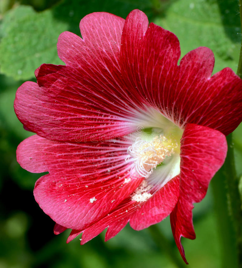 Red Hollyhock (Alcea rosea L). royalty free stock image
