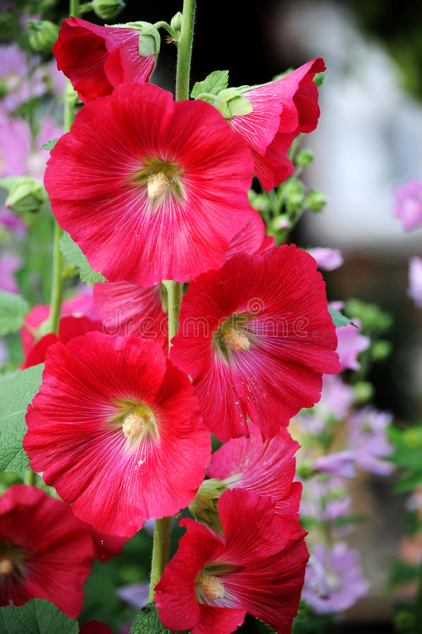 Red Hollyhock or Mallow. stock photography