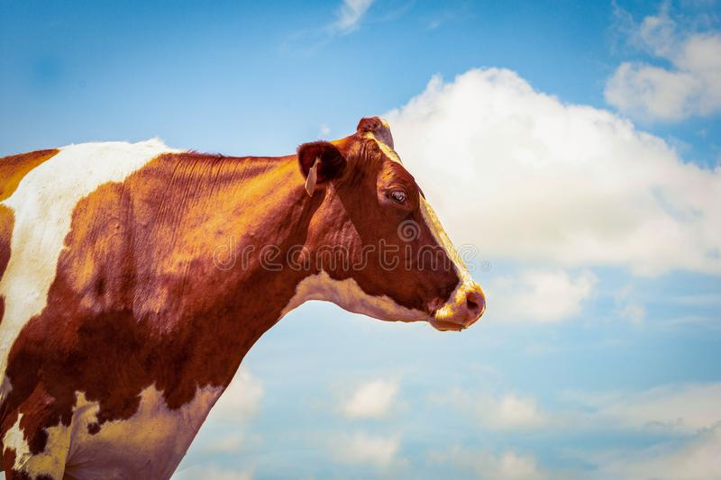 Red Holstein portrait against blue sky royalty free stock image