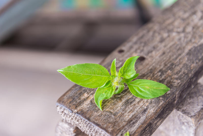 Red holy basil or Basil royalty free stock images