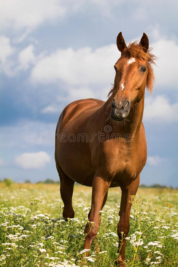 Download Red horse stock image. Image of summer, animal, stallion - 25924801