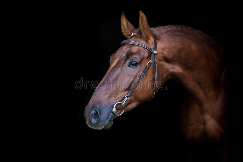 Red horse on black stock photography