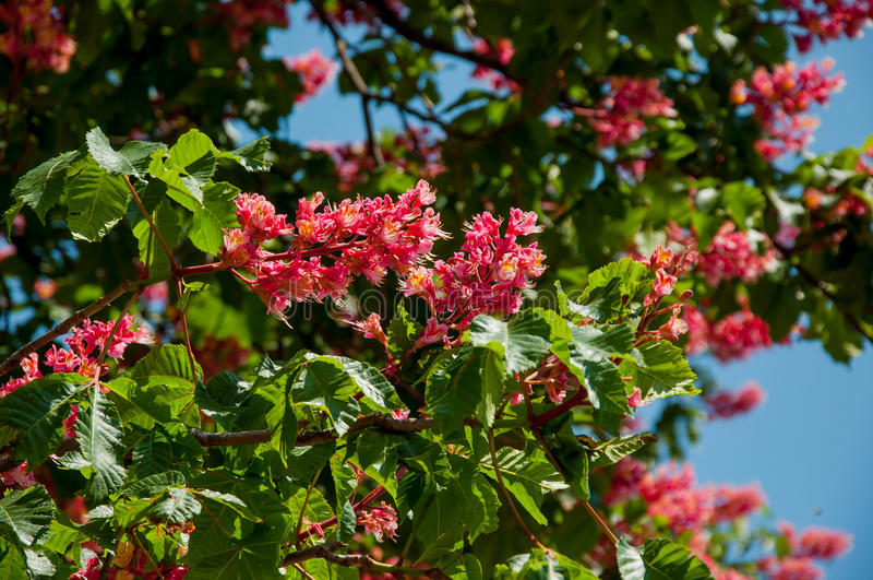 Red horse chestnut tree symbol of kiev city in blossom stock image download red horse chestnut tree symbol of kiev city in blossom stock image mightylinksfo Gallery