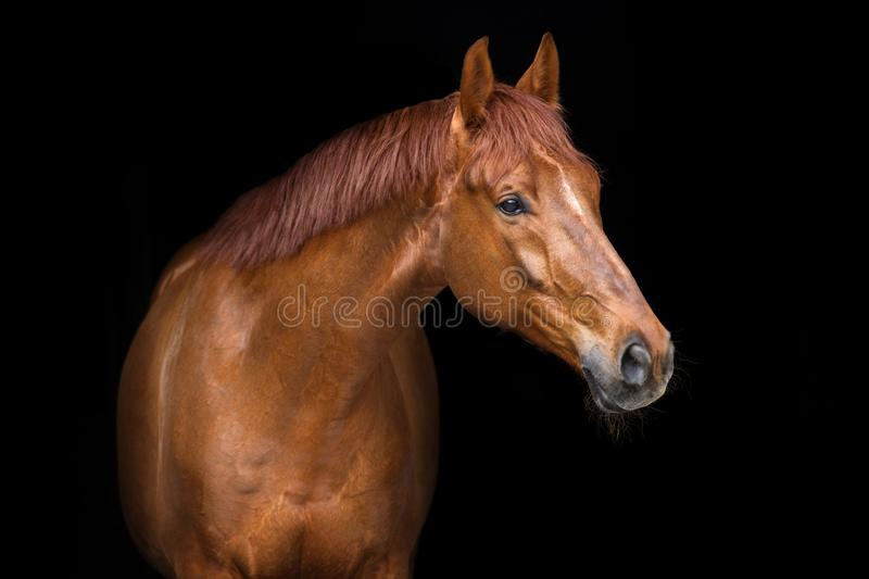 Red horse close up. Red horse portrait on black background stock photography