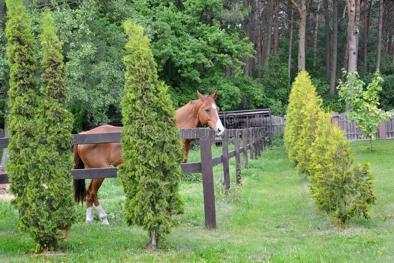 The red horse costs in the shelter on the seasonal dacha.  royalty free stock photos