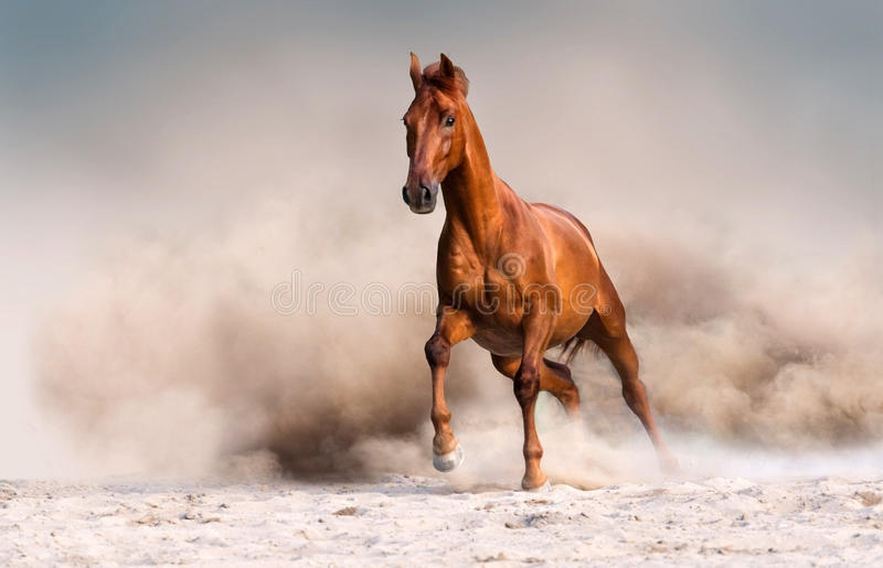 Red horse in desert. Red horse run fast in desert dust royalty free stock photo