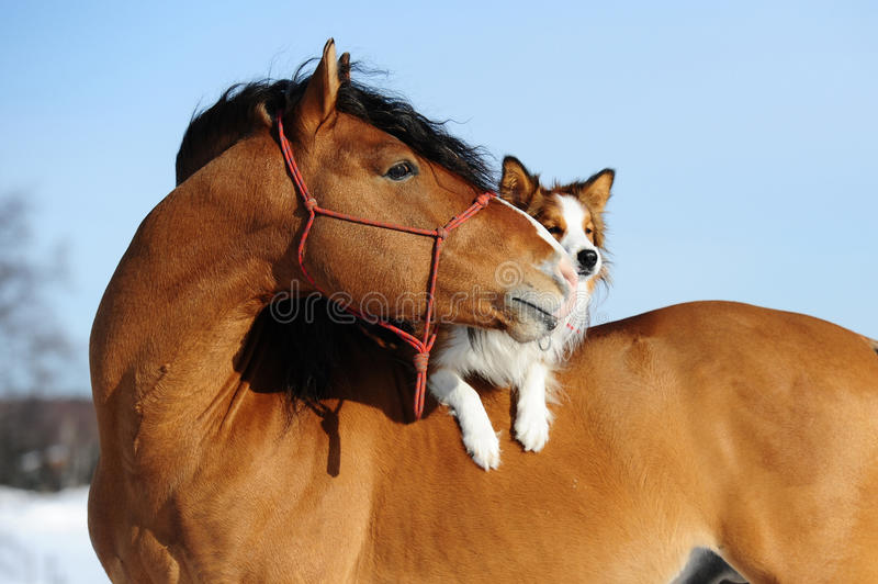 Red horse and dog are friends. Red horse and border collie dog are friends stock images