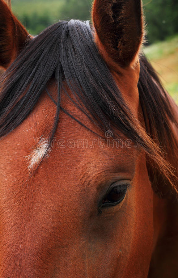 Red horse eye. A closeup of a red horse eye with a white spot on forehead. Shallow depth of field royalty free stock photos