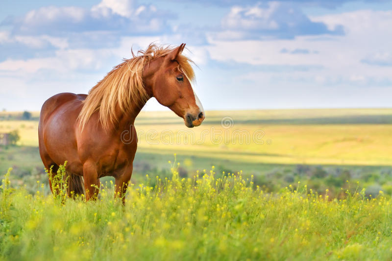 Red horse in flowers. Red horse with long mane in flower field against sky stock photography