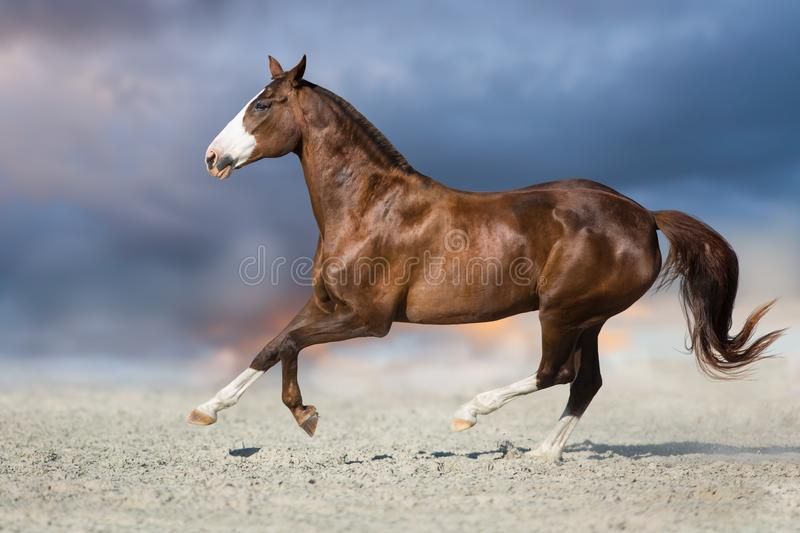 Red horse free run. Red horse run in desert dust against blue sky stock image