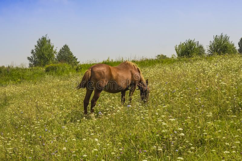 Red horse grazing on a green summer meadow stock images