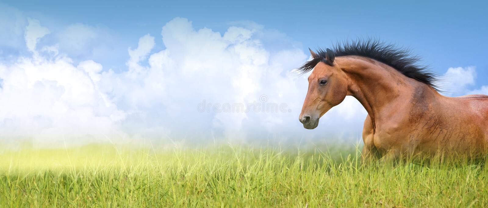 Red horse in high summer grass ,banner. Red horse in high summer grass against sky, banner royalty free stock image