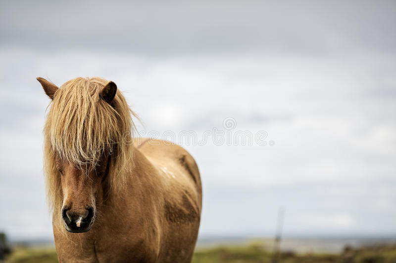 Red horse. Red Icelandic horse staring at the photographer stock photo