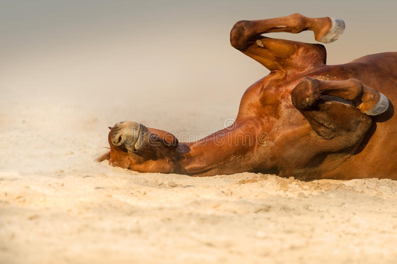 Red horse lay. On sand stock photos