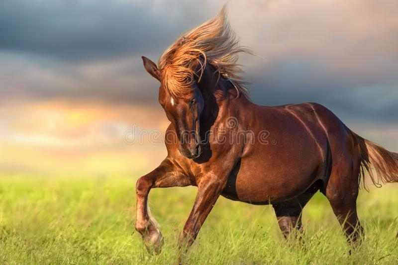Red horse with long blond mane. In motion against dawn stock image