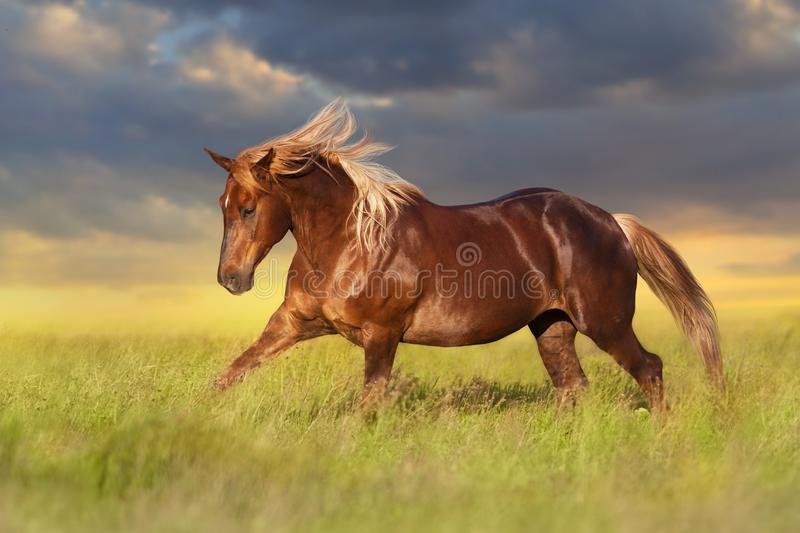 Red horse with long blond mane. In motion on field stock photo