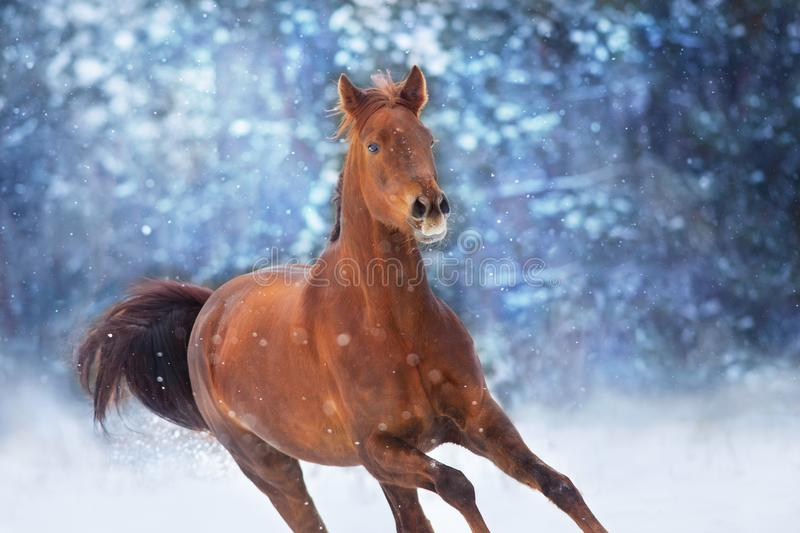 Red horse with long mane. Run fast in winter snow day stock image