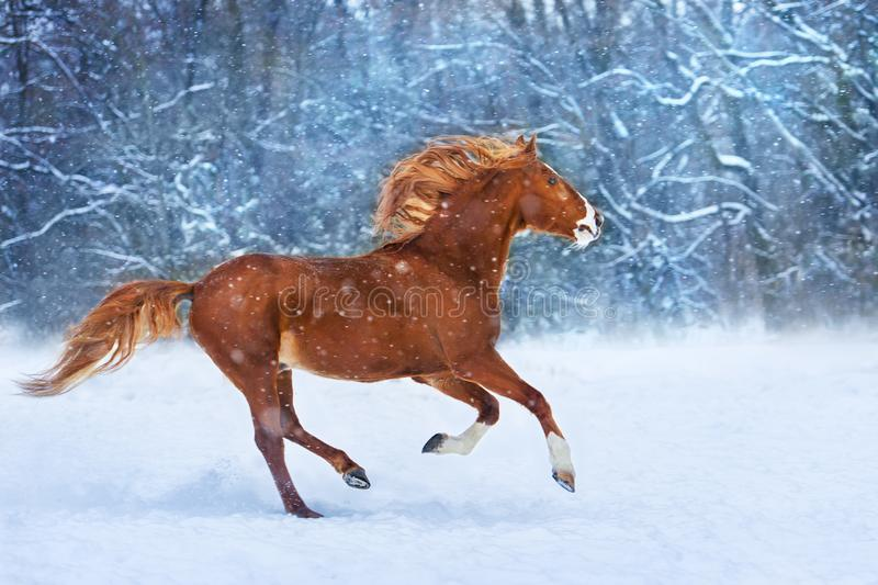 Red horse in snow. Red horse with long mane run fast in winter snow day royalty free stock images