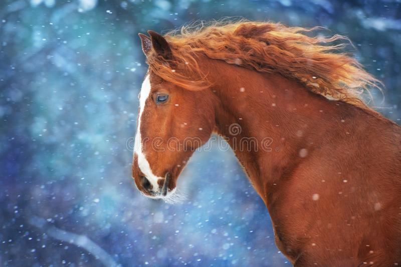 Red horse in snow. Red horse with long mane run fast in winter snow day royalty free stock photography