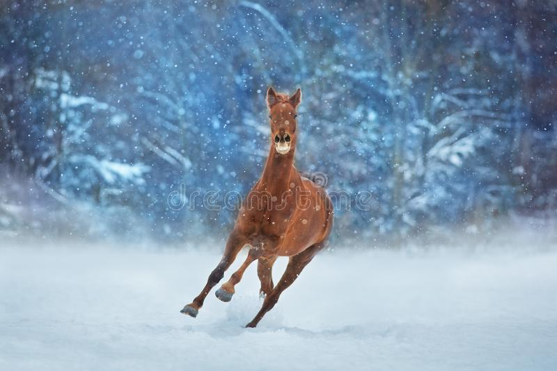 Red horse in snow. Red horse with long mane run fast in winter snow day royalty free stock photo