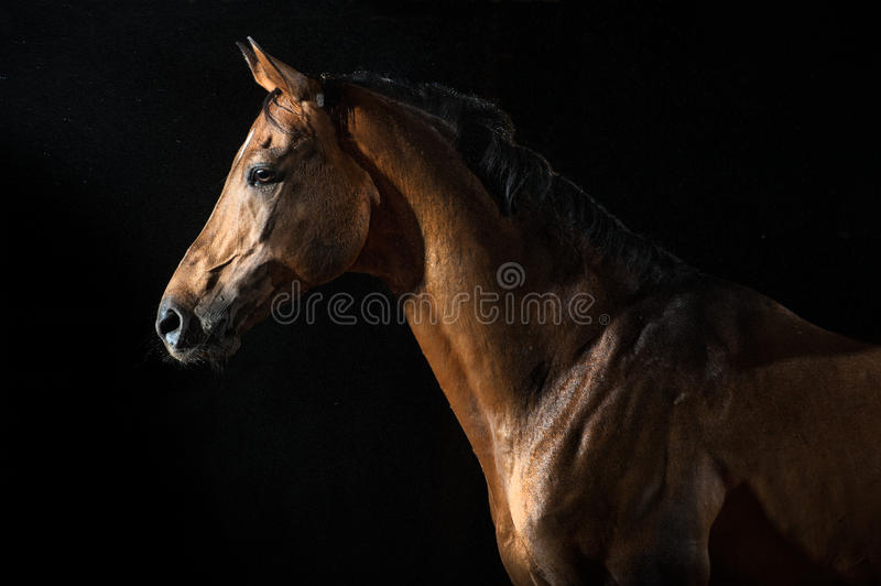 Red horse in the night under the rain. Studio shoot stock image