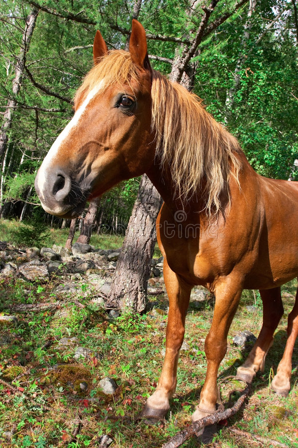Download Red Horse portrait. stock image. Image of altay, ears - 1413933