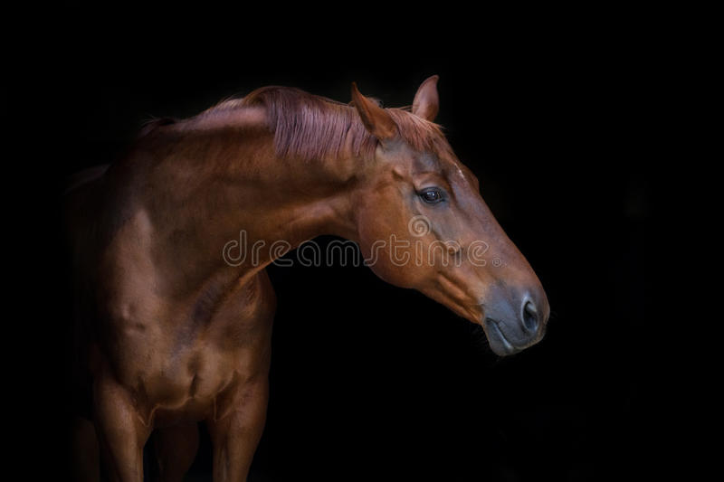 Red horse portrait. Beautiful red horse portrait on black background royalty free stock photo