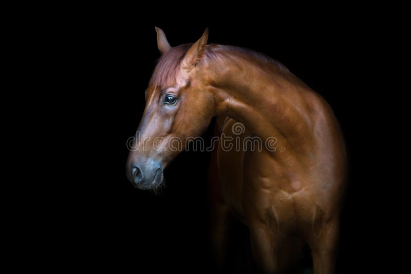 Red horse portrait. Beautiful red horse portrait isolated on black background royalty free stock images