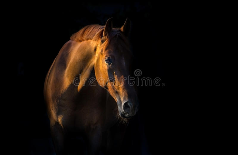 Red horse portrait. Red horse on black background stock images