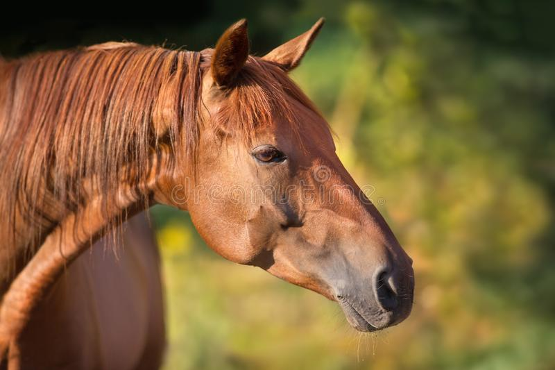 Red horse portrait. With green summer background royalty free stock photography