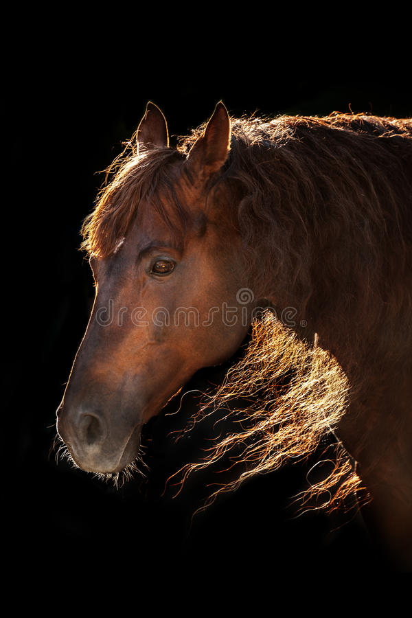 Red horse portrait in sunlight. Red horse portrait with long mane in sunlight on black background royalty free stock photos