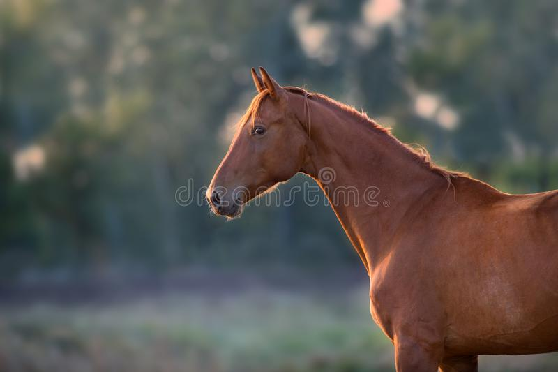 Red horse portrait. Outdoor at sunset light stock photo