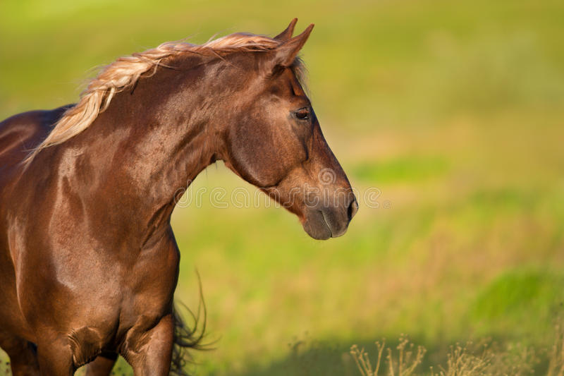 Red horse portrait. On pasture stock photo