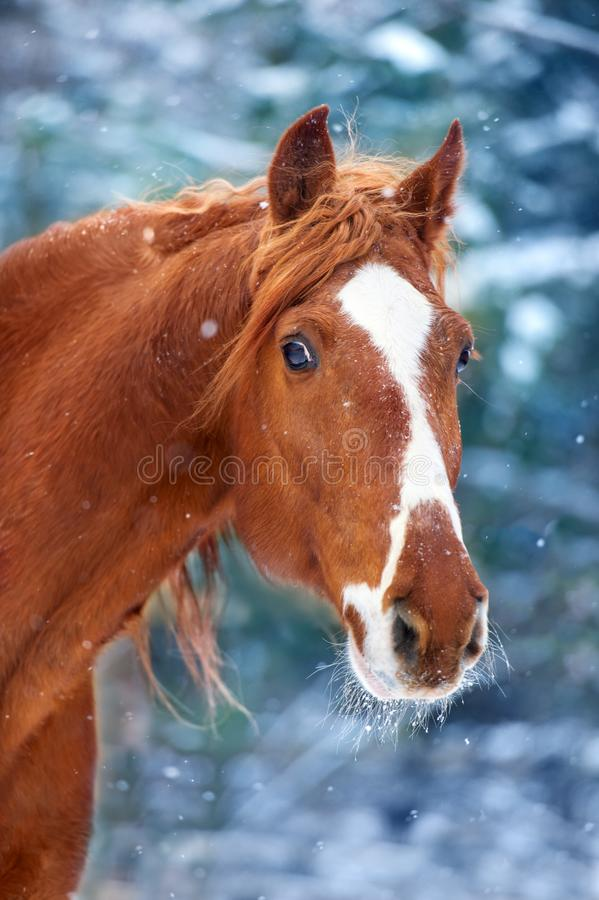 Red horse portrait in snow. Beautiful Horse with long mane portrait in winter snow day stock photo