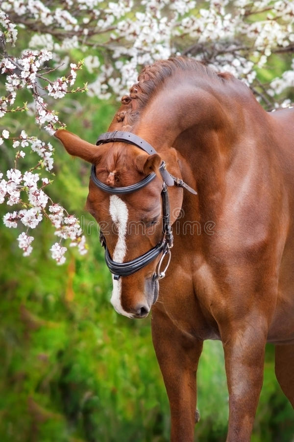 Red horse portrait in spring blossom stock images