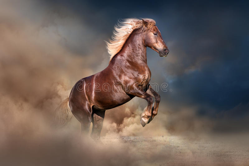 Red horse rearing up. Red horse with long blond mane rearing up in dust stock images