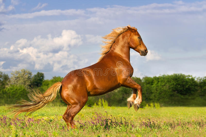 Red horse rearing up. Red horse with long mane rearing up in green spring grass stock images