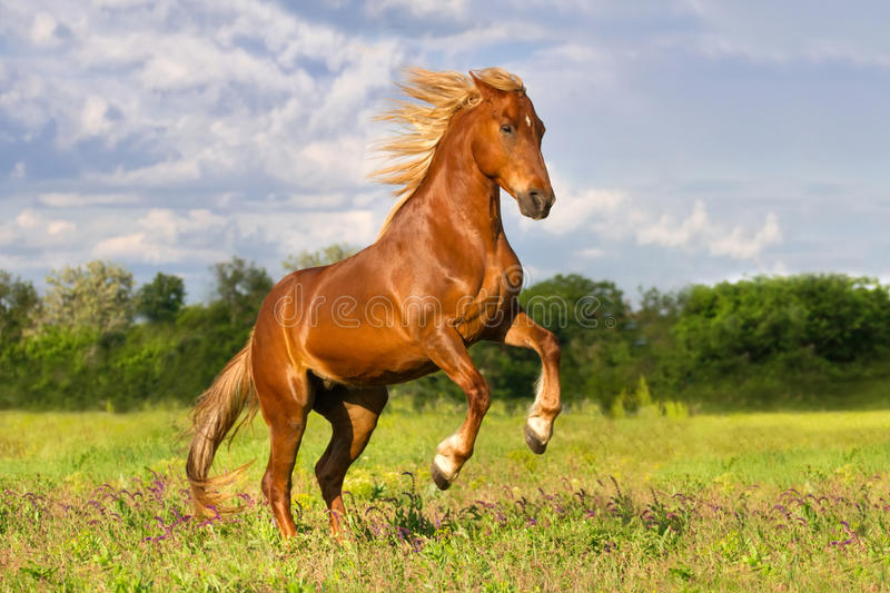 Red horse rearing up. Red horse with long mane rearing up in green spring grass stock photography