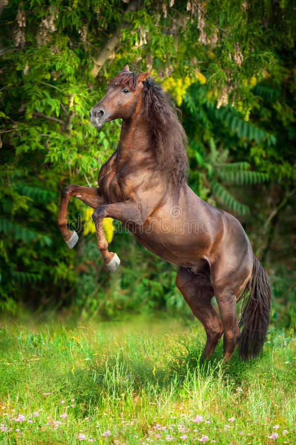 Red horse rearing up. Red horse with long mane rearing up on summer field stock images