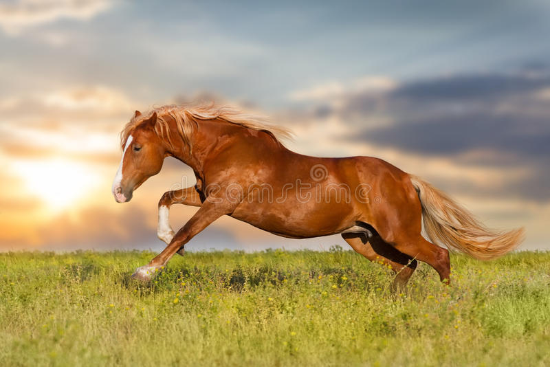 Red horse run. Against sunset sky royalty free stock image