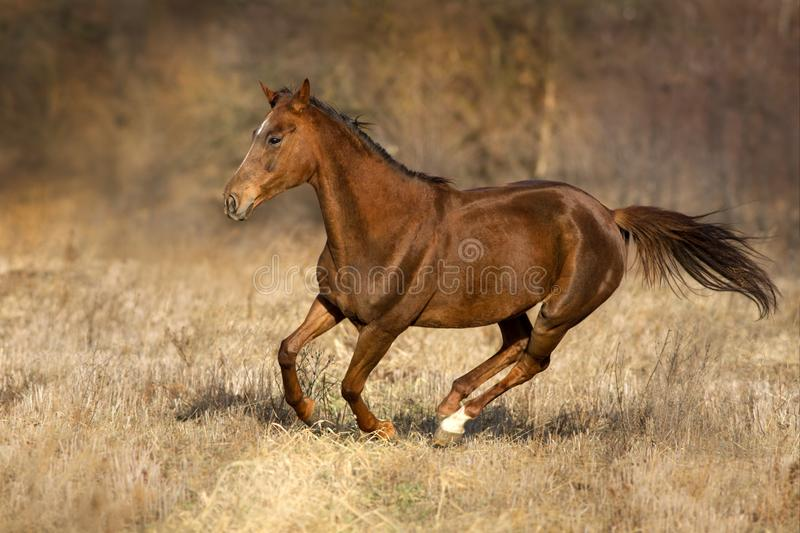 Red horse run. On autumn pasture royalty free stock photography