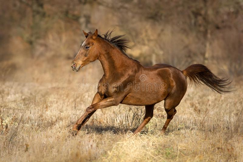 Red horse run. On autumn pasture stock image
