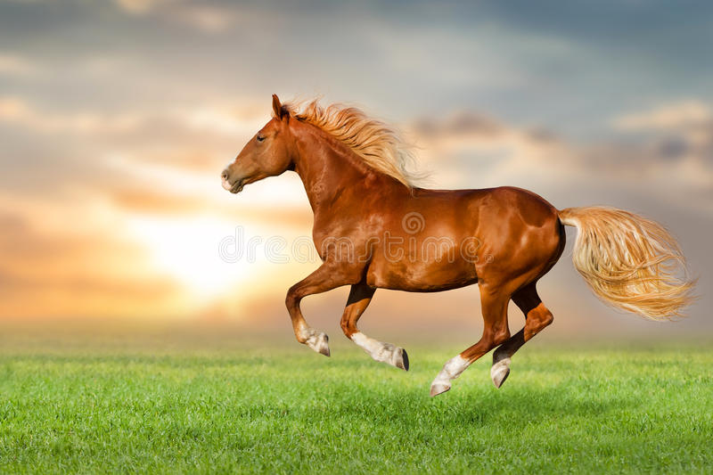 Red horse run. Beautiful red horse run fast in field stock photos