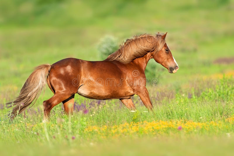 Red horse run. Beautiful red horse with long mane run at summer day in flowers royalty free stock images