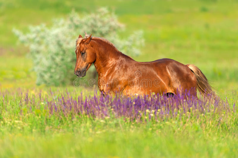 Red horse run. Beautiful red horse with long mane run at summer day in flowers stock image