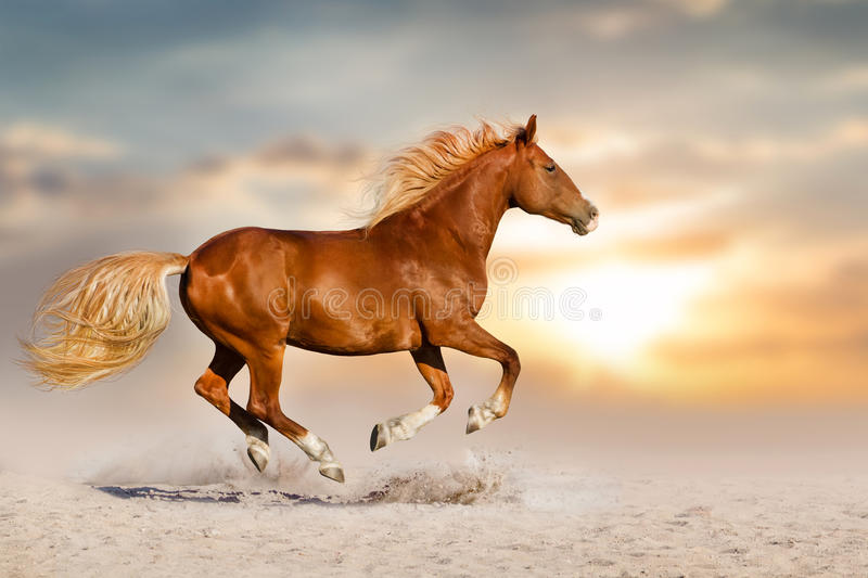 Red horse run in dust. Red horse with long mane run gallop in desert dust against sunset sky royalty free stock image