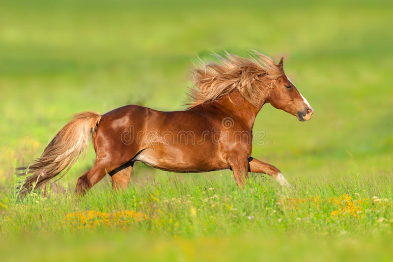 Red horse run in flowers. Red horse with long mane run gallop in flowers stock images