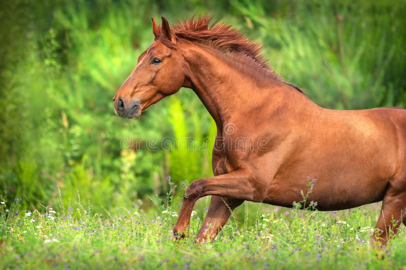 Red horse run. Free on summer meadow royalty free stock photo