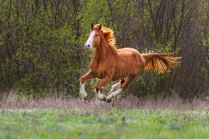Red horse run. Gallop on autumn field royalty free stock photo