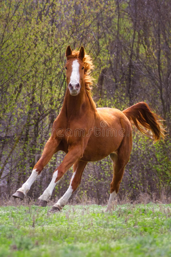 Red horse run. Gallop on autumn field stock photos